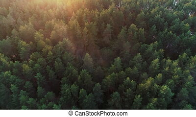 Morning green forest in the rays of the rising sun. - 4k....