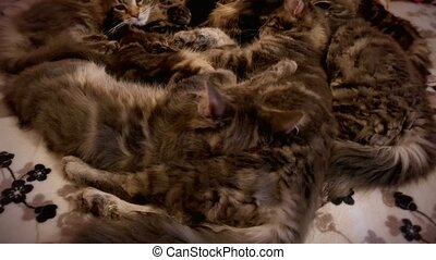 4k. family group of kittens with father, breed Maine Coon, lying on bed. Resting and licking