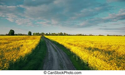 4K Flight Aerial Elevated Top View Of Spring Season Agricultural Landscape With Flowering Blooming Rapeseed, Oilseed In Field. Blossom Of Canola Yellow Flowers. Beautiful Rural Country Road At Sunset
