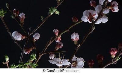 Flowering apricot flowers