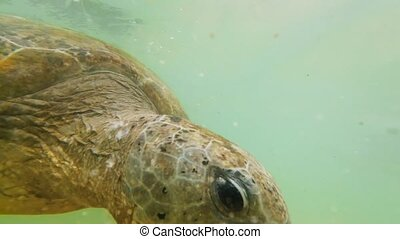 4k footage of big green turtle diving and swimming underwater at ocean shore