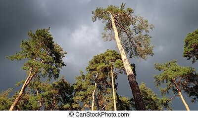 4k footage of dark sky covered with clouds and phigh pine...