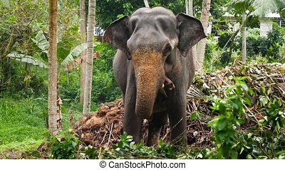 4k footage of indian elephant on jungle forest next to small...