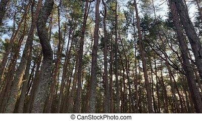 4k, forêt pin, arrière-plan., arbres, footage.