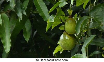 4K Fresh unripe passion fruit on nature wood High vitamin...