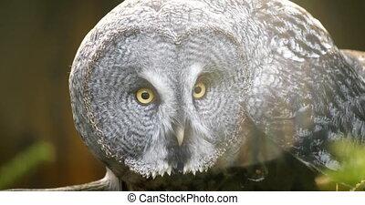4K - Great gray owl tracks down prey