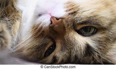 4K: Green eyes kitten hunter. Face closeup. Macro, The cat is sleeping, blinking