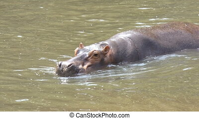 4K Hippopotamus mammal animal in the natural river