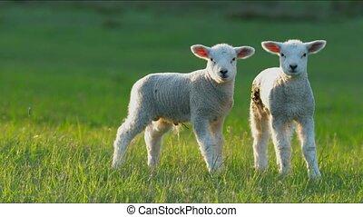 4K little lambs grazing in countryside. - 4K lambs grazing...