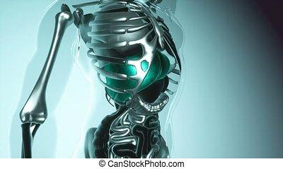 human liver model with all organs and bones - 4K medical...