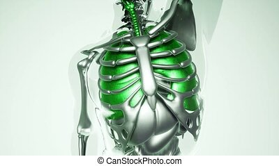 4K medical science footage of human lungs model with all organs and bones