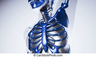 human skeleton bones model with organs - 4K medical science...