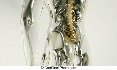 4K medical science footage of human spine skeleton bones model with organs