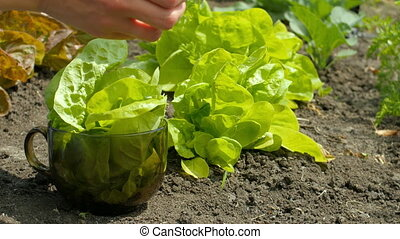 4k of woman hands picking leaf salad. Female person in gloves working on a sunny day in field
