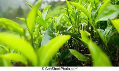 4k panning video of beautiful highland tea plantation on ...