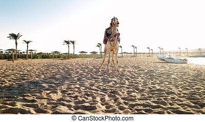 4k panning video of beautiful white camel standing on the...