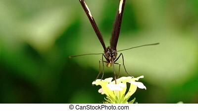 4K - Postman Butterfly. Macro front view