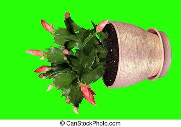 4K. Red schlumbergera flower