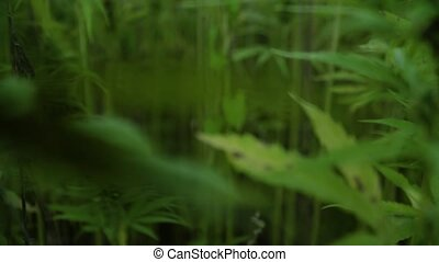 4k resolution video of sun shining trough cannabis leafs and narcotic buds in hemp plantation.