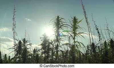 4k resolution video of sun shining trough cannabis leafs and...
