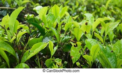 4k revealing video of beautiful highland tea plantation at ...