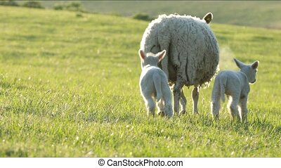 4K sheep and little lambs grazing in countryside. - 4K sheep...