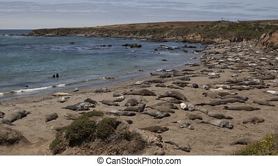 4K Time lapse of a huge colony of elephant seals, Mirounga...