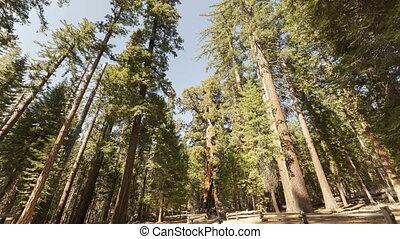 4K Time lapse Sequoia tourists - 4K Time lapse of tourists...