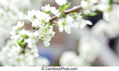 UltraHD video footage of blossoming apple-tree - 4k UltraHD...