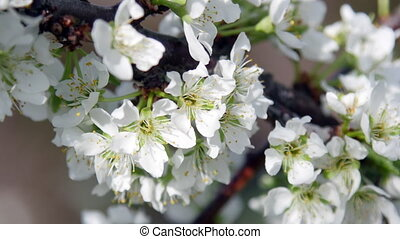 UltraHD video footage of blossoming apple-tree