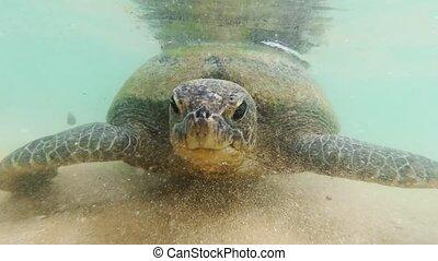 4k underwater video of big green turtle rocking on the ocean...