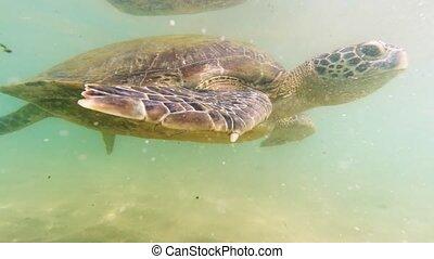 4k underwater video of big green turtle swimming at the coast of Sri Lanka in wildlife