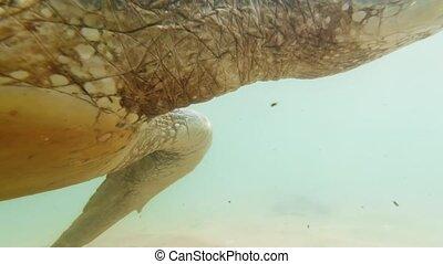 4k underwater video of swimming with big green turtle in indian ocean