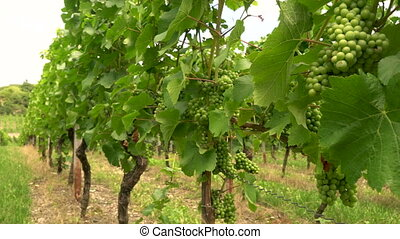 4K video clip of grape vines growing in a vineyard in the...