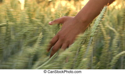 4K video clip of young mixed race adult woman female girls hand feeling the top of a field of barley crop at sunset or sunrise