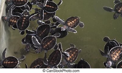 4k video of 1-day newly born turtles swimming in wildlife ...