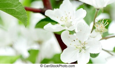 4K video of apple blossom, trees with pink and white flowers