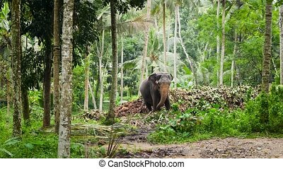 4k video of beautiful adult indian elephant in the tropical ...