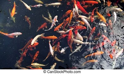 4k video of beautiful red, orange, golden and white koi ...