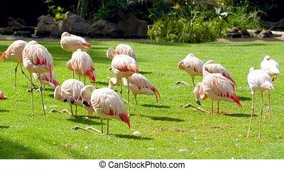 4k video of big flock of flamingo birds standing on filed ...
