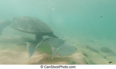 4k video of camera swimming after big green turtle and tropical coral fishes in ocean