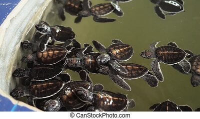 4k video of lots of newborn turtles swimming in water tank ...