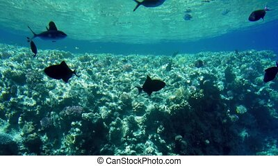 4k video of swimming above colorful corals and schools of...