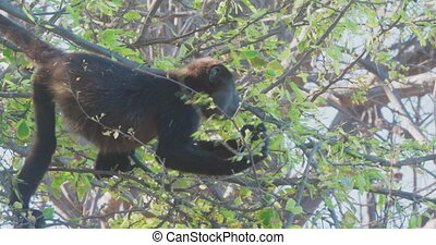 4K Wild Howler Monkeys Foraging Leaves in a Costa Rica...