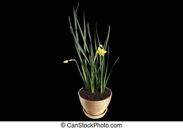 4K. Yellow narcissus blossom buds ALPHA matte, Ultra HD...