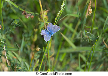 5 - Common blue butterfly looks right into the frame with copy space.