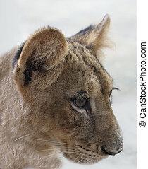 5 months lion cubs,, eye - 5 months lion cubs, eye