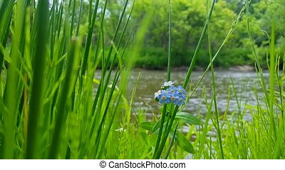 5 Petal Blue Flowers With Flowing River in Background. Foreground Focus on Beautiful Riverbank Blue Flower Surrounded by Lush Green Grass.