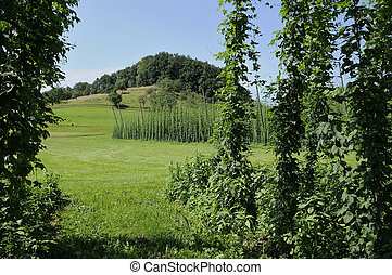 #5, plantation, baden, houblon