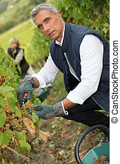 50 years old man and woman doing grape harvest